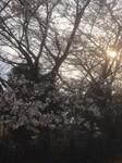 190413桜1.JPG
